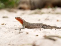 Galapagos Albemarle Lava Lizard Microlophus albemarlensis. On rock on beach Stock Photos
