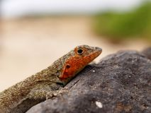 Galapagos Albemarle Lava Lizard Microlophus albemarlensis. On rock on beach Royalty Free Stock Photos
