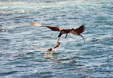 Galapagos animals fighting. A sea lion and a pelican quarreling over a fish, Galapagos Islands, Equador royalty free stock images