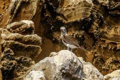 Galapagos błękitny footed dureń Zdjęcia Royalty Free