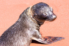 Galapagos Baby Sea Lion Royalty Free Stock Images