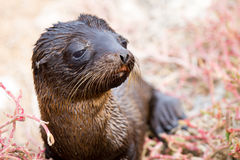 Galapagos Baby Sea Lion. Baby sea lion drying on the beach in the Galapagos Islands stock images