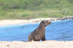 Galapagos baby sea lion close up in the wild. Galapagos baby sea lion close up, beach master male Stock Photography
