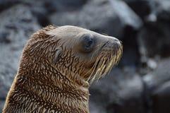 Galapagos Baby Sea Lion. Closeup of a baby Galapagos Sea Lion´s head Royalty Free Stock Photography