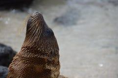 Galapagos Baby Sea Lion´s head. Closeup of the head of a Galapagos Sea Lion Royalty Free Stock Photos