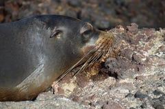 Galapagos behandla som ett barn havsLionÂs huvud Fotografering för Bildbyråer