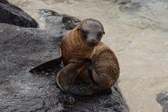 Galapagos behandla som ett barn sjölejonet Arkivfoton