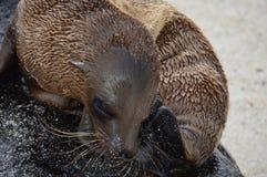Galapagos behandla som ett barn sjölejonet Arkivfoto