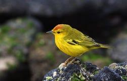 Galapagos birds 19. Unique species of birds and wildlife in the Galapagos Islands Ecuador royalty free stock photos