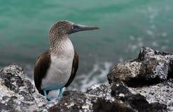 Galapagos birds 30. Unique species of birds and wildlife in the Galapagos Islands Ecuador stock photography