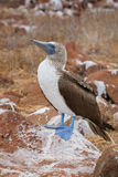 Galapagos blå-footed booby Royaltyfri Fotografi