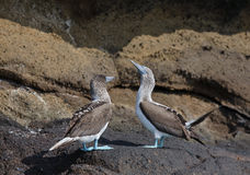 Galapagos blå-footed booby Royaltyfria Bilder