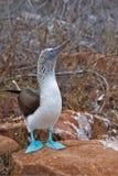 Galapagos blå-footed booby Royaltyfria Foton