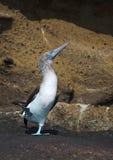 Galapagos blå-footed booby Fotografering för Bildbyråer