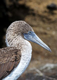 Galapagos blå-footed booby Arkivbilder