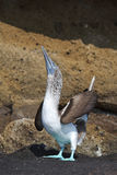 Galapagos-blau-füßiger Dummkopf stockbilder