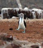 Galapagos-blauer füßiger Dummkopf mustert weg vom Gehilfen Lizenzfreie Stockbilder