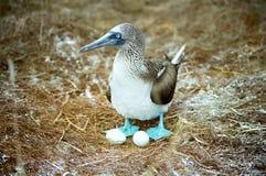 Galapagos-blauer füßiger Dummkopf und Eier stockfoto