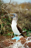 Galapagos Blue Footed Booby calling for a mate Royalty Free Stock Image