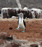 Galapagos blue footed booby eyes off mate. During mating dancing on North Seymour Island Royalty Free Stock Images