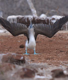 Galapagos blue footed booby flares wings Stock Photos