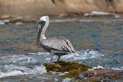 Galapagos brązu pelikana Pelecanus occidentalis - stojący zdjęcia royalty free