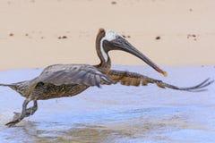 Galapagos Brown Peleican Taking Flight Royalty Free Stock Images