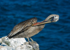 Galapagos Brown Pelican Royalty Free Stock Photography