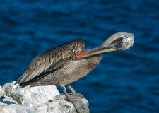 Galapagos Brown Pelican. (Pelecanus occidentalis thagus). South Plaza Island, Santa Cruz Island, Galapagos, Ecuador royalty free stock photography
