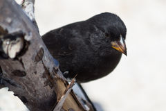 Galapagos Cactus Finch. (latin Geospiza scandens) resting on a branch Stock Photos