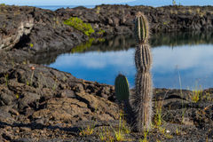 Galapagos Cactus Stock Photography