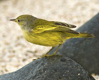 Galapagos Canary Royalty Free Stock Image