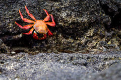 Galapagos Crab. Orange Galapagos crab on lava rocks in Ecuador Royalty Free Stock Photography