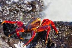 Galapagos Crab. Crab on lava rocks in Galapagos Islands stock photos