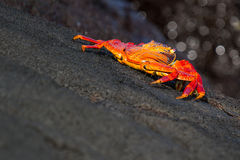 Galapagos Crab. On lava rocks creeping out of frame stock photos
