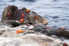 Galapagos Crab. S of different ages on lava rocks by the ocean stock images