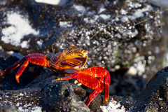 Galapagos Crab Spitting. Crab on lava rocks in Galapagos Islands stock images