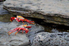 Galapagos Crabs Royalty Free Stock Photos