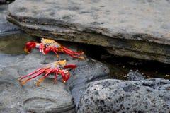 Galapagos Crabs. Two orange Galapagos crabs on lava rocks royalty free stock photos