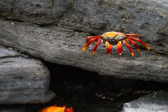 Galapagos Crabs Royalty Free Stock Images