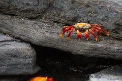 Galapagos Crabs. A Galapagos crab on lava rocks Royalty Free Stock Images