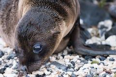 Galapagos Cub σφραγίδων στην παραλία στοκ φωτογραφίες