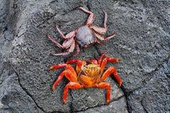 Galapagos czerwoni rockowi kraby obraz stock
