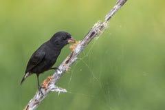 Galapagos Darwin Black Finch arkivfoto
