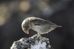 Galapagos Darwin Finch som sitter på, vaggar arkivbild
