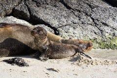 Galapagos Dennego lwa Zalophus wollebaeki matka i lisiątko na plaży, Genovesa wyspa, Galapagos wyspy zdjęcie stock
