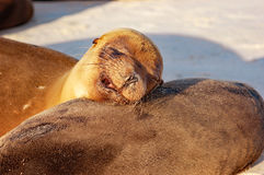 Galapagos denni lwy śpi w ciepłym słońcu zdjęcie royalty free