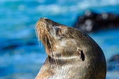 Galapagos denny lew przy Mann plażą, San Cristobal wyspa, Ekwador Zdjęcia Stock