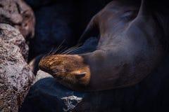 Galapagos denny lew uśpiony na ciemniutkich skałach Obraz Stock