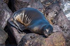 Galapagos denny lew uśpiony na powulkanicznych skałach Fotografia Royalty Free